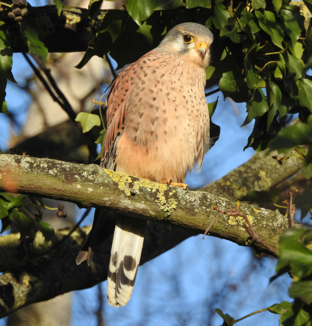Kestrel at Jordans Mill